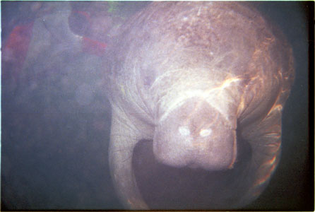 Manatee head on